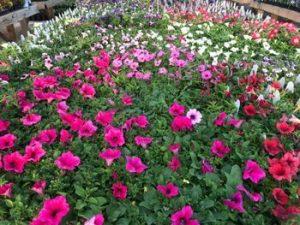 Country Greenhouse Flowers Idaho Greenhouse